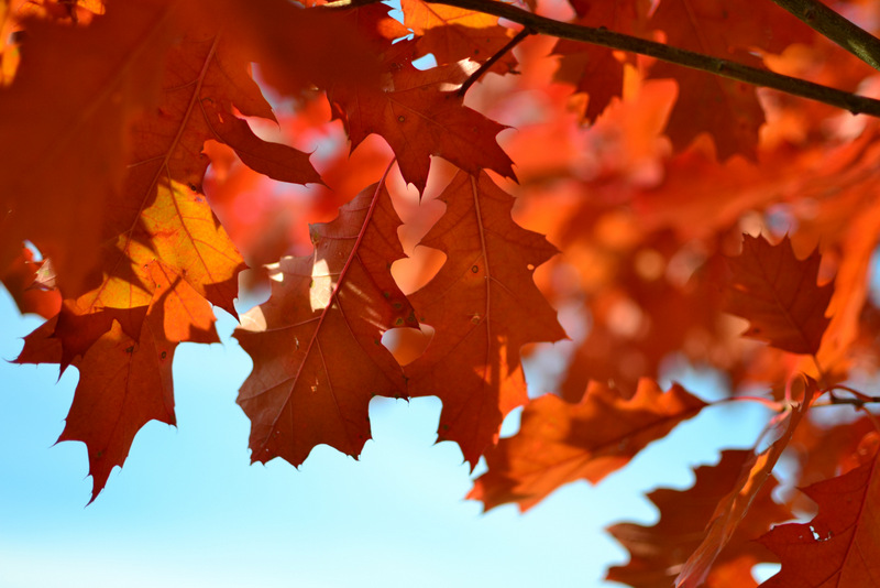 Red brown fall oak leaves - free autumn stock photo