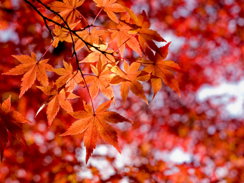 red maple leaves - free fall autumn stock photo