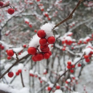 Red berries covered in snow - free winter stock photo